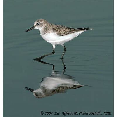 Sanderling - Calidris alba ref:alca30273