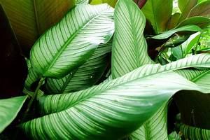 Gummibaum Lässt Blätter Hängen : calathea l sst die bl tter h ngen woran liegt 39 s korbmarante ~ Bigdaddyawards.com Haus und Dekorationen