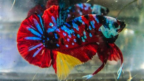 Ikan Cupang Hias Tercantik foto gambar ikan cupang