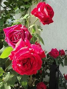Blumen Lange Blütezeit : pflegegang durch das rosenbeet heike klaas verr t ihnen ~ Michelbontemps.com Haus und Dekorationen