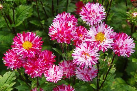 bunga terindah  dunia bunga aster merah putih blog unik