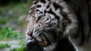 Download Wallpaper 1920x1080 White tiger, face, whiskers ...