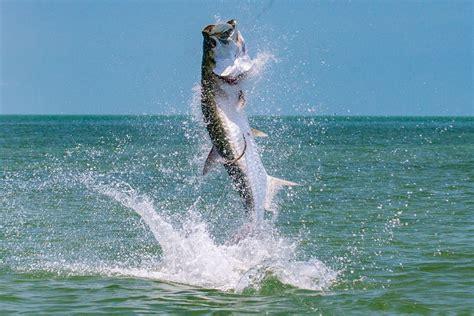 tarpon fishing fly florida keys key largo everglades bonefish fish tackle silver islamorada permit king its way spring redfish west