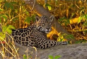 Costa Rica Builds 'Underground Railroad' for Jaguars ...