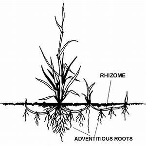 Plante Succulente Espèces Représentatives : plante rhizome explications et vulgarisation ~ Nature-et-papiers.com Idées de Décoration