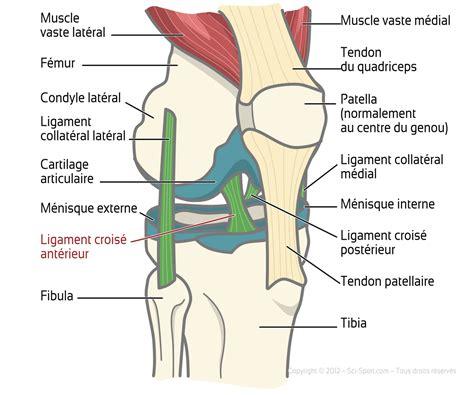 sciences du sport ligaments crois 233 s ant 233 rieurs et