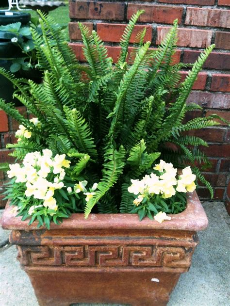 ferns in planters simple inexpensive sun fern with yellow snapdragons tucked in the corners of the planter for