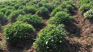 A Sweet (Potato) Solution to Malnutrition