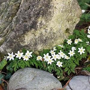 Frühblühende Sträucher Frühjahr : busch windr schen anemone nemorosa das busch windr schen ~ Michelbontemps.com Haus und Dekorationen