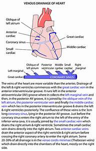 Instant Anatomy - Thorax - Areas  Organs - Heart