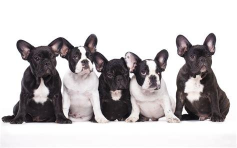 franzoesische bulldogge welpen  man wissen sollte