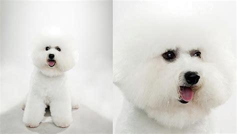 bichon frise dog breed selector animal planet