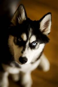 Colors of Siberian Huskies   PetHelpful