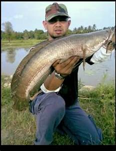 Gambar Ikan Snakehead | Dunia Binatang