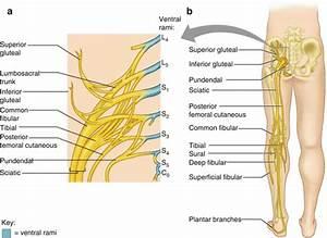 Clinical Anatomy Of Lower Extremity