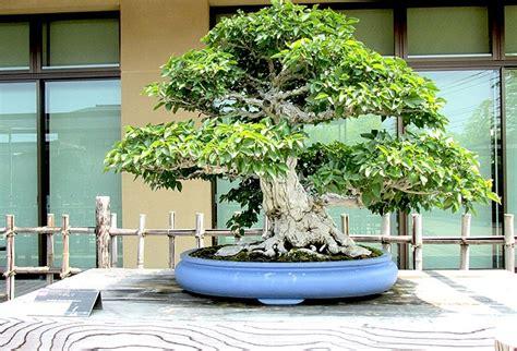 bonsai arten indoor bonsai baum 187 geschichte arten pflege tipps
