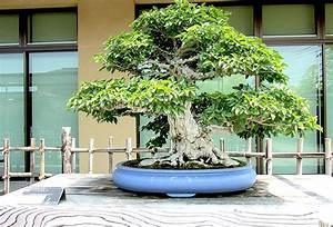 Bonsai baum geschichte arten pflege tipps for Garten planen mit bonsai lebensbaum kaufen