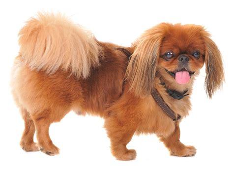 acheter  pekinois annonces chiens pekinois  vendre quebec