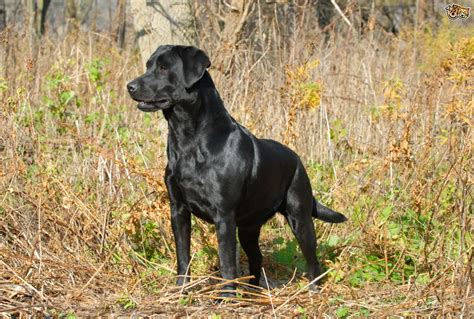 All About The Labrador Retriever