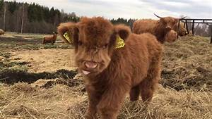 Scottish Highland Cattle In Finland  Osku The Fluffy Calf  Always Ready For Some Filming