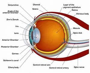Eyes  Eye Anatomy And Anatomy On Pinterest