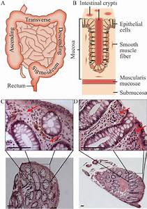 Biopsy Histology Analysis  A  Overview Of The Human Small