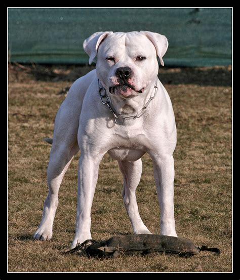 american bulldog hunderasse  hundeseitede