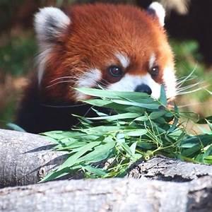 Baby red panda! I love pandas! :) | Things that make me ...