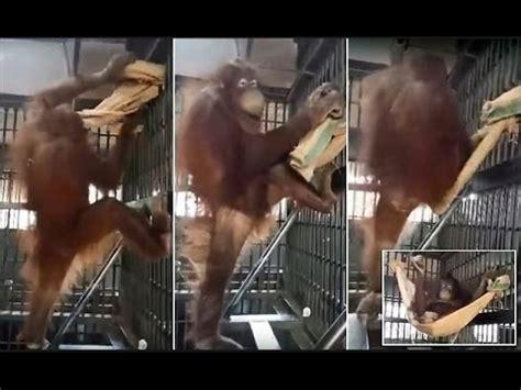 orangutan forced  sleep  cage  thai zoo  hammock youtube