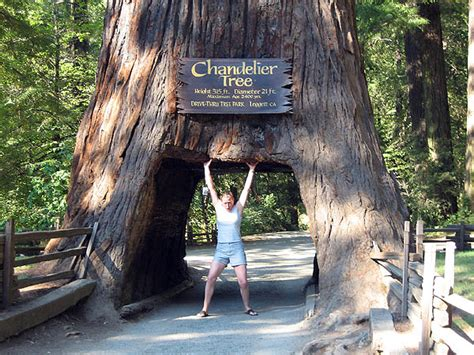 mendocino 2006 chandelier drive thru tree