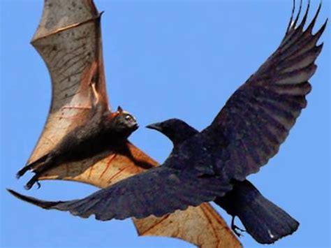 crazy air battle bats vs crows youtube