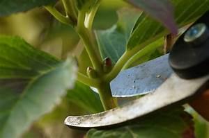 Hydrangea Paniculata Schneiden : hortensie schneiden image gallery hortensien schneiden ~ Lizthompson.info Haus und Dekorationen