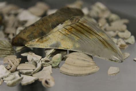 Paleontologs Itālijā atrod retu milzu haizivs zobu - nra.lv