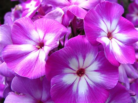 violet flowers wallpapers hd pictures one hd wallpaper