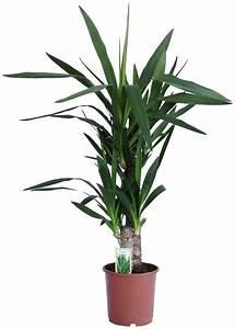 Yucca Palme Winterhart : dominik zimmerpflanze yucca palme h he 60 cm 1 ~ A.2002-acura-tl-radio.info Haus und Dekorationen