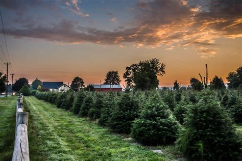 7 of the best long island christmas tree farms long