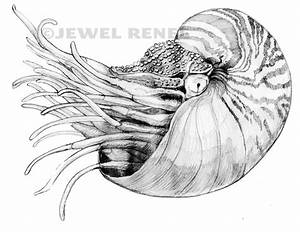 Jewel Renee Illustration: Nautilus Pencil Drawing