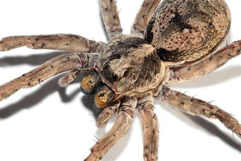 wolf spider spiders aren t scary wolf spider