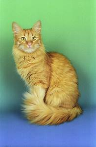 Cats For Sale Turkish Angora Cats up For Stud Turkish ...