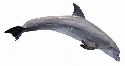 Dolphin Transparent Clipart Bottlenose Background River Pngpix