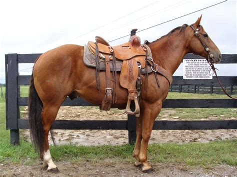 Chestnut Quarter Horse Gelding