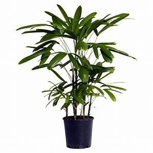 Palm Species Houseplants Rhapis Excelsa Is One Of The