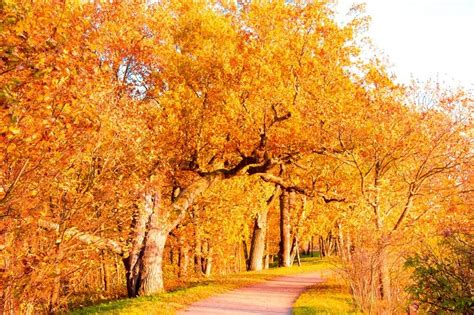 trees that turn yellow in fall yellow trees falling leaves stock photo colourbox