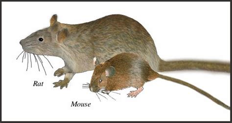 mice vs rats what is the difference between a rat and a mouse the garden of eaden