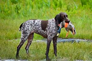 Tips for training bird dogs and hunting dogs