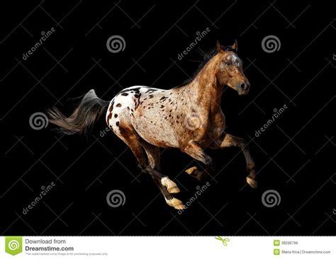 stallion appaloosa