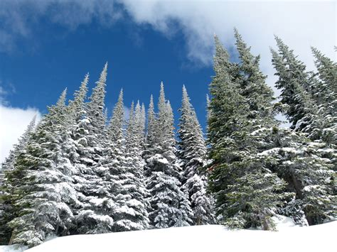 winter pine forest  british columbia canada image