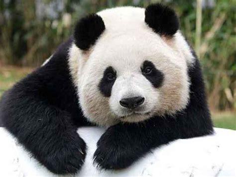 osos panda ya  son una especie en peligro extincion