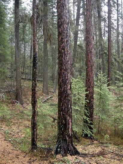 Tamarack Trees Larch Needles