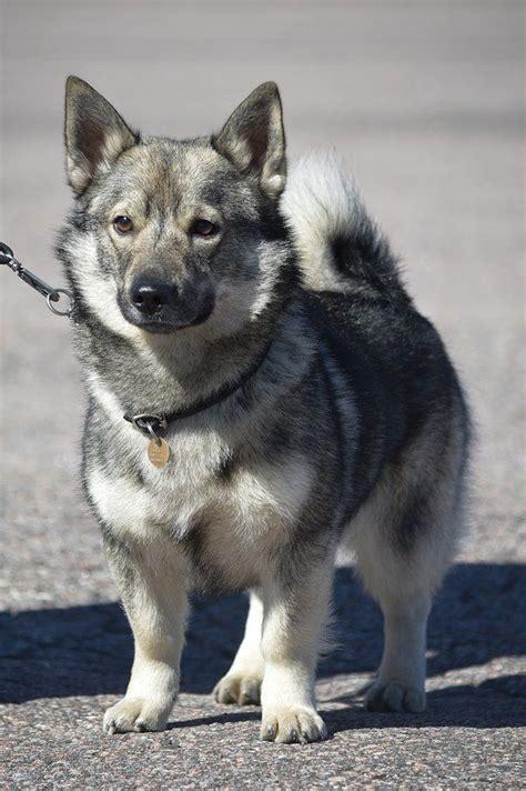 dogs swedish vallhund images  pinterest corgi